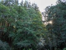 Alberi della sequoia con sole che dà una occhiata da parte a parte immagine stock