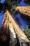 Alberi della sequoia gigante Immagini Stock Libere da Diritti