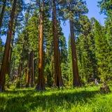 Alberi della sequoia nel parco nazionale di Sequois in California Fotografie Stock