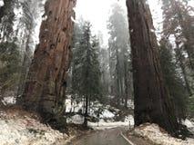 Alberi delle sequoie immagini stock libere da diritti