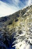 Alberi dello Snowy al sole Fotografia Stock Libera da Diritti