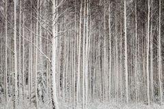 Alberi dello Snowy in foresta Fotografia Stock Libera da Diritti