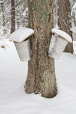 Alberi di acero con due secchi della linfa Immagini Stock