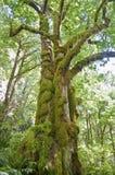 Alberi di acero muscosi antichi in foresta Fotografie Stock