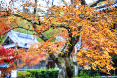 Alberi di acero rosso in un giardino giapponese Fotografia Stock Libera da Diritti
