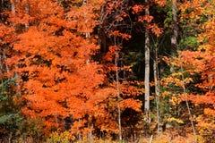 Alberi di acero variopinti nel tempo di autunno immagini stock libere da diritti