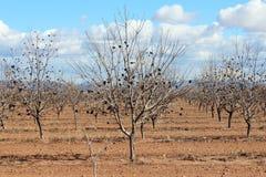 Alberi di agricoltura dell'Arizona Fotografie Stock Libere da Diritti