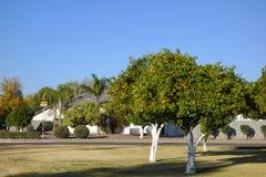 Alberi di agrume sulle vie di Phoenix, AZ Immagine Stock Libera da Diritti