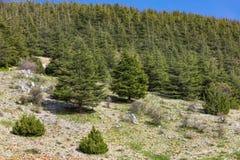 Alberi di Al Shouf Cedar Nature Reserve Barouk Libano fotografia stock