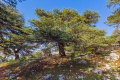 Alberi di Al Shouf Cedar Nature Reserve Barouk Libano fotografia stock libera da diritti