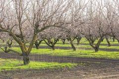 Alberi di albicocca di fioritura nel frutteto soleggiato della molla Immagini Stock Libere da Diritti