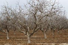 Alberi di Alton in California durante la siccità fotografia stock