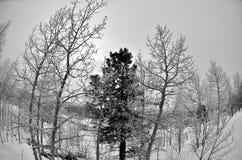 Alberi di Aspen nell'inverno tramite il fish-eye Fotografia Stock Libera da Diritti
