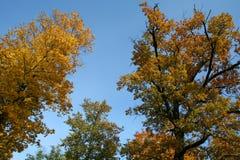 Alberi di autunno dell'oro con il cielo Fotografia Stock