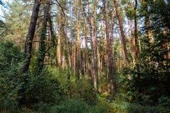 Alberi di autunno della foresta di autunno Legno sempreverde della foresta della foresta di ecologia Fotografie Stock
