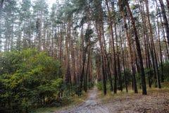 Alberi di autunno della foresta di autunno Legno sempreverde della foresta della foresta di ecologia Immagine Stock
