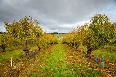 Alberi di autunno nel frutteto Fotografie Stock Libere da Diritti