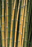 Alberi di bambù Fotografie Stock Libere da Diritti