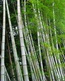 Alberi di bambù Fotografie Stock