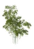 Alberi di bambù Immagine Stock