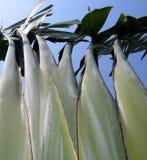 Alberi di banana fotografia stock