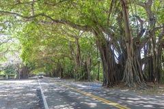 Alberi di banyan in Coral Gables, Miami fotografie stock libere da diritti