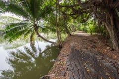 Alberi di banyan e della noce di cocco intorno allo stagno nella campagna della Tailandia immagine stock