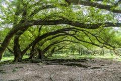 Alberi di banyan Molti alberi di banyan in Yangjiaxi, Fujian, Cina immagini stock libere da diritti