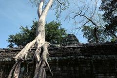 Alberi di Banyan sulle rovine in tempiale dell'AT Prohm cambodia Grandi radici aeree di ficus sulla parete di pietra antica Costr immagine stock libera da diritti