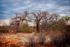 Alberi di Baobob dell'Africano Fotografia Stock Libera da Diritti