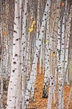 alberi di betulla Immagine Stock Libera da Diritti