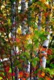 Alberi di betulla Fotografia Stock