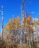 Alberi di betulla alti nel cielo blu immagine stock