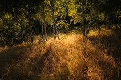 Alberi di betulla backlit dal sole fotografia stock libera da diritti