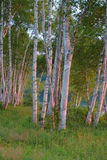 Alberi di betulla bianca ad alba fotografia stock libera da diritti