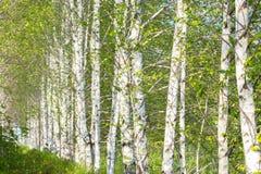 Alberi di betulla che crescono in una fila Tronchi della betulla bianca, natura della carta da parati del fondo Foresta del bosch immagine stock libera da diritti