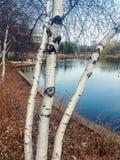 Alberi di betulla che trascurano lago Immagini Stock