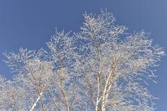 Alberi di betulla con i cristalli di ghiaccio e della neve Immagini Stock