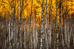 Alberi di betulla con il fuoco selettivo Fotografia Stock Libera da Diritti