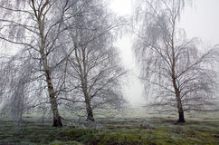 Alberi di betulla congelati brina in Wortham Ling Diss Norfolk Fotografia Stock