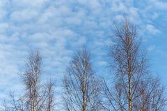 Alberi di betulla contro il bello cielo Immagini Stock