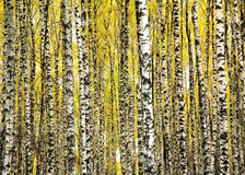 Alberi di betulla dei tronchi in autunno Immagini Stock