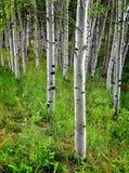 Alberi di betulla dell'Aspen in estate Fotografia Stock Libera da Diritti