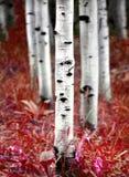 Alberi di betulla dell'Aspen nella caduta Fotografia Stock Libera da Diritti