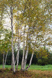 Alberi di betulla durante l'autunno Fotografia Stock Libera da Diritti