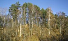 Alberi di betulla e del pino su una collina Fotografia Stock