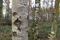 Alberi di betulla in foresta Fotografia Stock Libera da Diritti