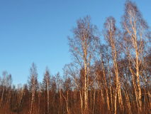Alberi di betulla in foresta, Lituania Immagini Stock