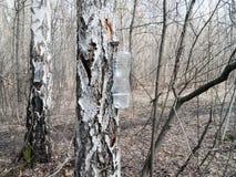 Alberi di betulla in la foresta di primavera Fotografia Stock