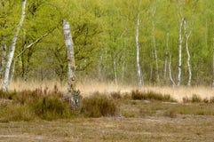 Alberi di betulla di Moorland con le foglie verdi fresche della molla su oro marrone e su erba verde immagini stock libere da diritti